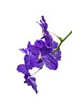 Blue orchid. A iaolated picture of a blue orchid on white background Royalty Free Stock Photography