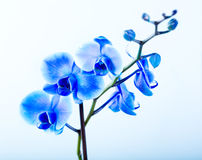 Blue orchid Stock Image