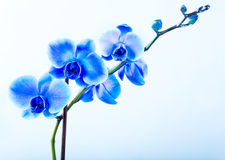 Blue orchid Royalty Free Stock Image