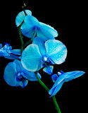 Blue orchid on a black background Stock Photo