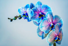 Blue orchid. Brunch of orchid with the blue flowers. Blue orchid. Brunch of orchid with the blue flowers with violet viens royalty free stock image
