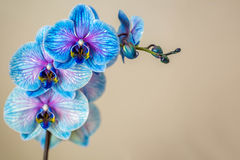Blue orchid. Brunch of orchid with the blue flowers. Blue orchid. Brunch of orchid with blue flowers with violet viens. Free space for text royalty free stock image