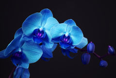 Blue orchid with buds. On a black background Royalty Free Stock Photo