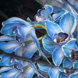 Blue orchid with buds Royalty Free Stock Photography