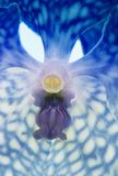 Blue orchid close-up Royalty Free Stock Photos