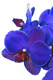 Blue orchid flower Royalty Free Stock Photography