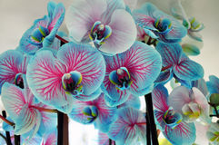 Blue orchid flower. Background of blue orchid flowers Stock Photo