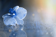 Blue orchid flower Stock Photos