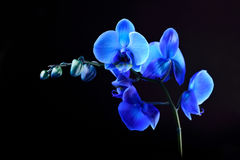 Blue orchid flower. On black  background Royalty Free Stock Image