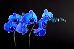 Blue orchid flower Stock Photo