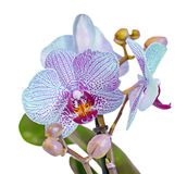 Blue orchid  flower, Orchidaceae, Phalaenopsis known as the Moth Orchid, abbreviated Phal. Royalty Free Stock Photography