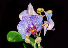 Blue orchid  flower, Orchidaceae, Phalaenopsis known as the Moth Orchid, abbreviated Phal. Stock Images