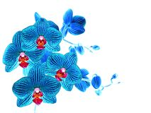 Blue orchid flower, white isolated Royalty Free Stock Photography