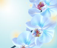 Blue orchid flowers. On blue background Royalty Free Stock Image