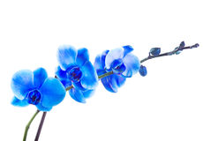Blue orchid. Isolated on white background royalty free stock photos