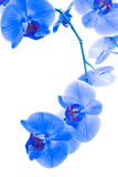 Blue orchid isolated on white background Stock Photos