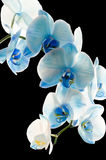 Blue Orchid Stock Photography
