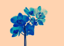 Blue orchid, retro tinted. Blue orchid close up, retro tinted Stock Photography