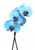 Blue orchid on white Royalty Free Stock Photos