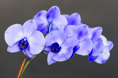 Blue Orchid XXL Stock Photography
