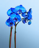 Blue Orchids Stock Images