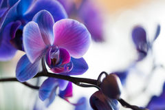 Blue Orchids. On display indoors Stock Photos