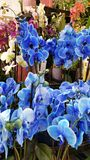 Blue orchids Royalty Free Stock Photography