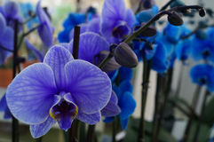 Blue orchids. Stock Image