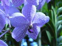 Blue orichd. Blue Orchid in a green house stock images