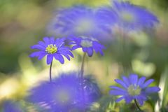 The blue or oriental anemone anemone blanda photographed with a macro lens. The blue or oriental anemone anemone blanda is a real spring gift to photograph, one stock photos