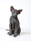 The  blue oriental kitten Royalty Free Stock Photo