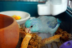 Blue Pacific Parrotlet, Forpus coelestis is eating the whole wheat bread Royalty Free Stock Photography