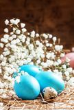 Blue Painted Easter eggs and quail eggs in the straw with a small white spring flowers, selective focus royalty free stock photo