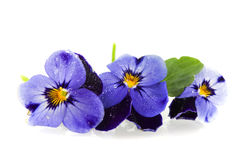 Blue Pansies. In a row isolated over white Stock Image