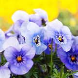 Blue pansies Royalty Free Stock Photos