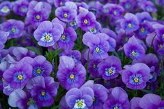 Blue pansies. Floral background: lot of blue pansies Stock Image