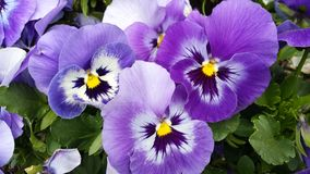 Blue pansies. Beautiful flowers blue violet pansies close up Stock Image