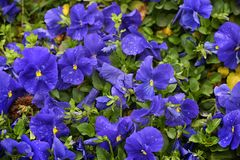 Blue pansies. In the garden. Seasonal natural photo Royalty Free Stock Photography