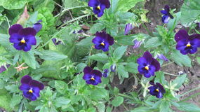 Blue pansies Stock Photography