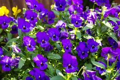 Blue pansies floral background. Blue pansies close up floral background royalty free stock images