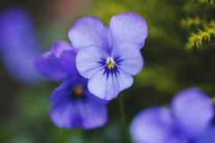 Blue Pansies Stock Photo