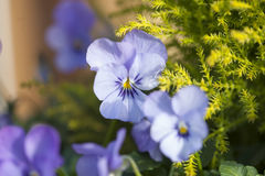 Blue Pansies Royalty Free Stock Images