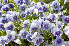 Blue pansies Royalty Free Stock Photo