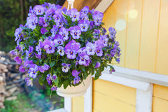 Blue pansies flowers grow in pot Stock Photo