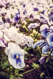 Blue pansies, springtime, retro filter. Blue pansies in the garden. Beauty in nature. Seasonal natural scene. Rtro photo filter Stock Photo