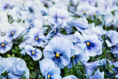 Blue pansies in the garden Stock Photos