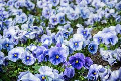 Blue pansies, springtime. Blue pansies in the garden. Beauty in nature. Seasonal natural scene Stock Images