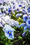 Blue pansies, springtime. Blue pansies in the garden. Beauty in nature. Seasonal natural scene Stock Photo