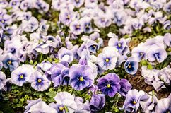 Blue pansies, springtime, retro filter. Blue pansies in the garden. Beauty in nature. Seasonal natural scene. Retro photo filter Royalty Free Stock Photo