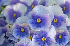 Blue pansies (viola) Stock Image